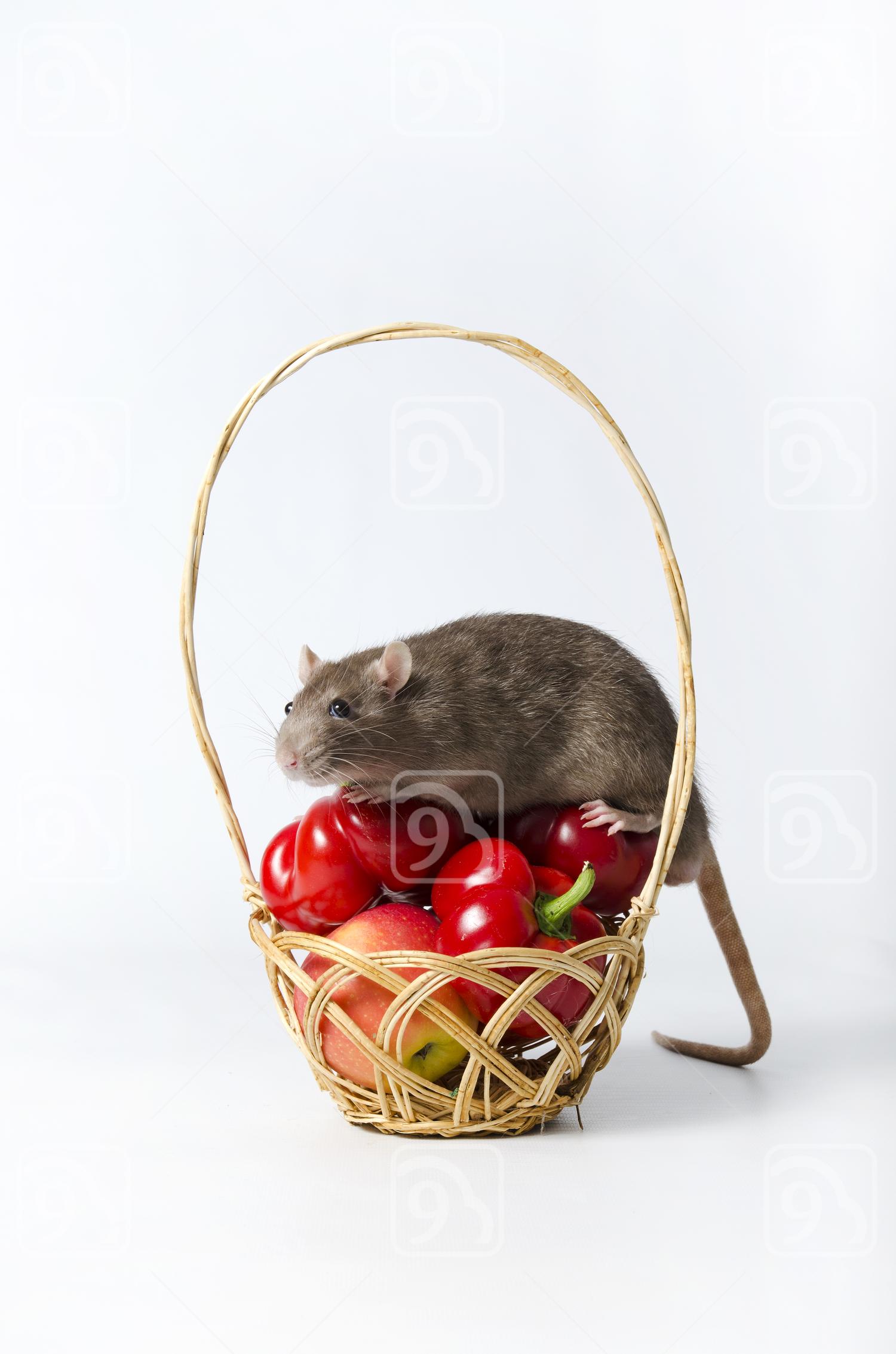 Grey Rat on wicker basket