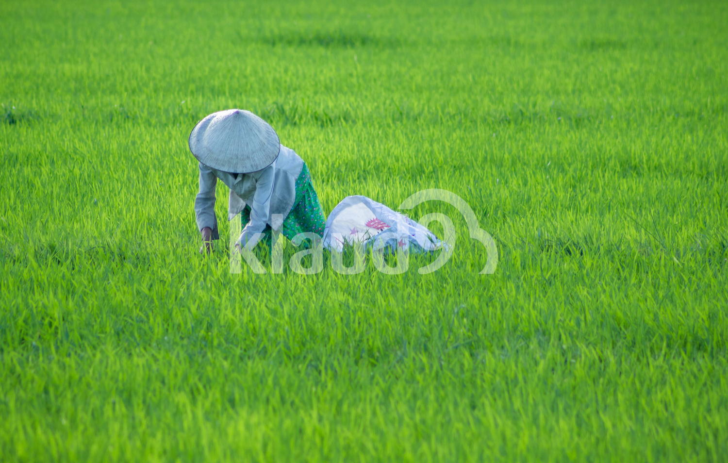 Collecting Rice