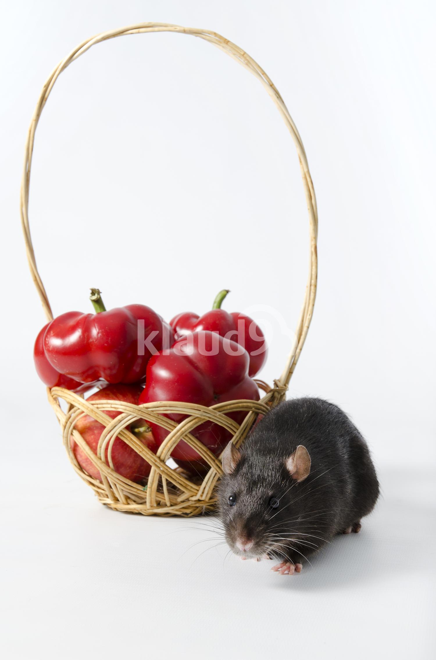 Black Rat with Wicker basket