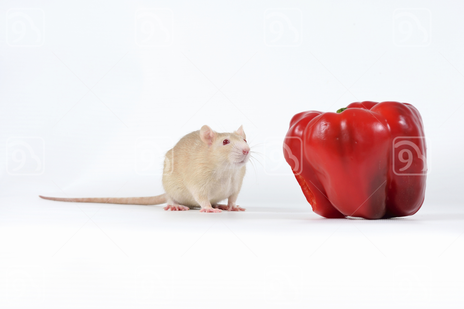 Brown Rat and apple