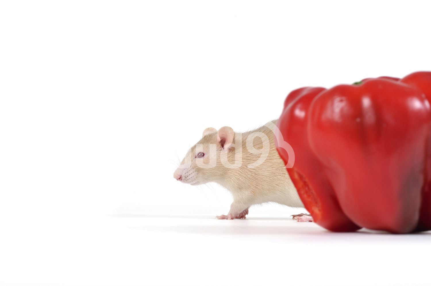 Rat and vegetables.