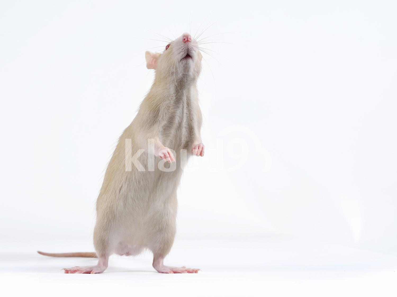 Funny Rat Standing
