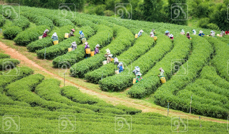 Crowd of tea picker picking tea leaf on plantation