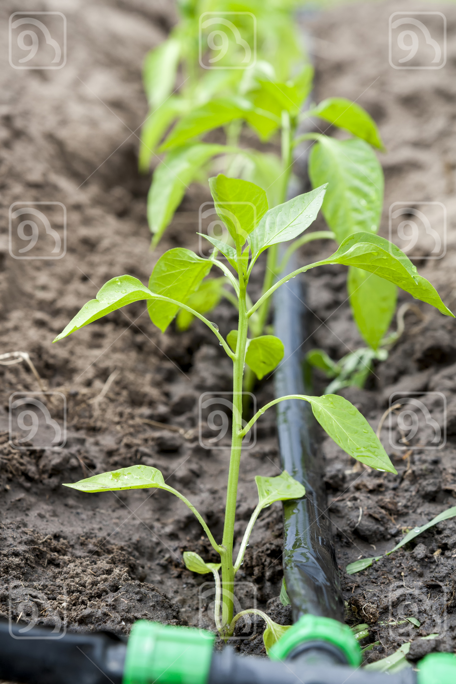 Young sprouts pepper with drip irrigation