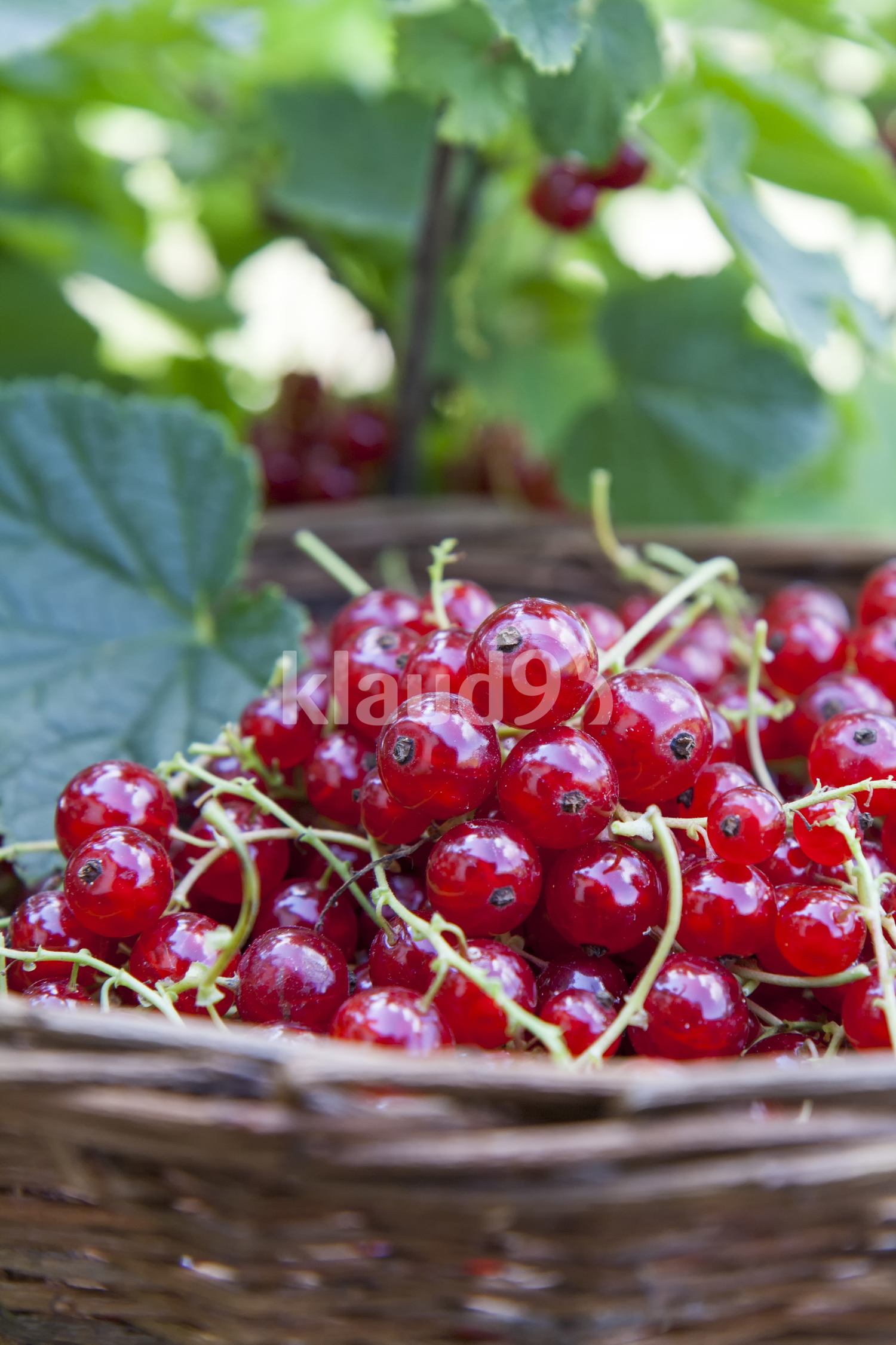 Fresh ripe sweet red currant in basket