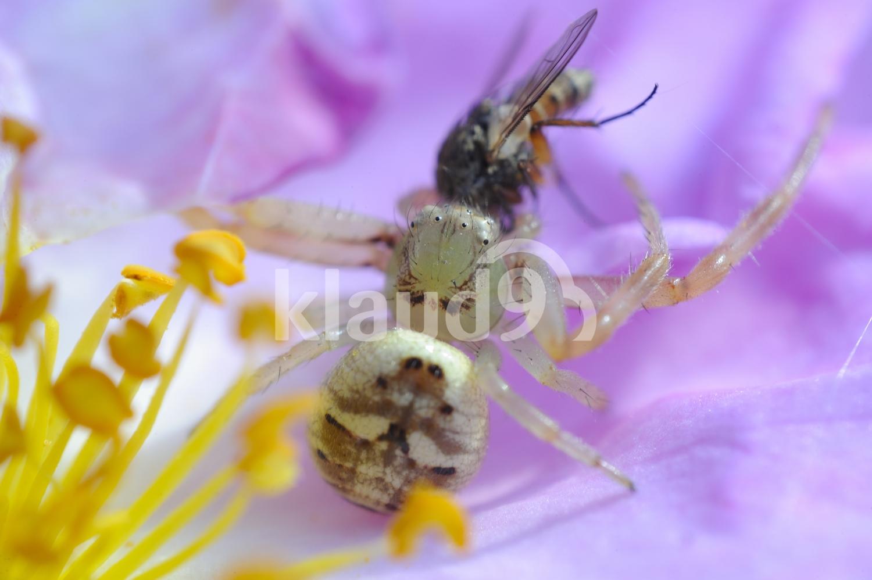 AFRICAN MASK FLOWER CRAB SPIDER