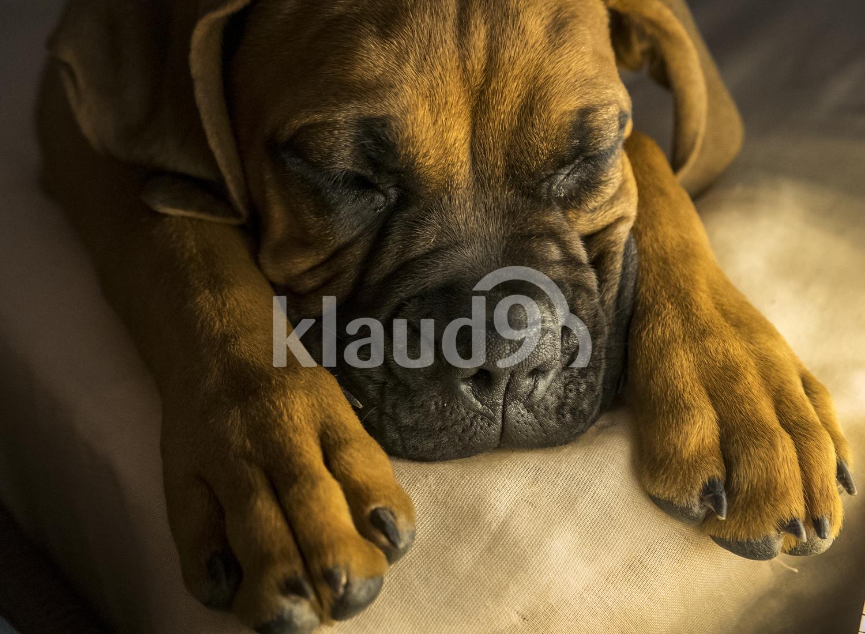 Boxer dog falling asleep