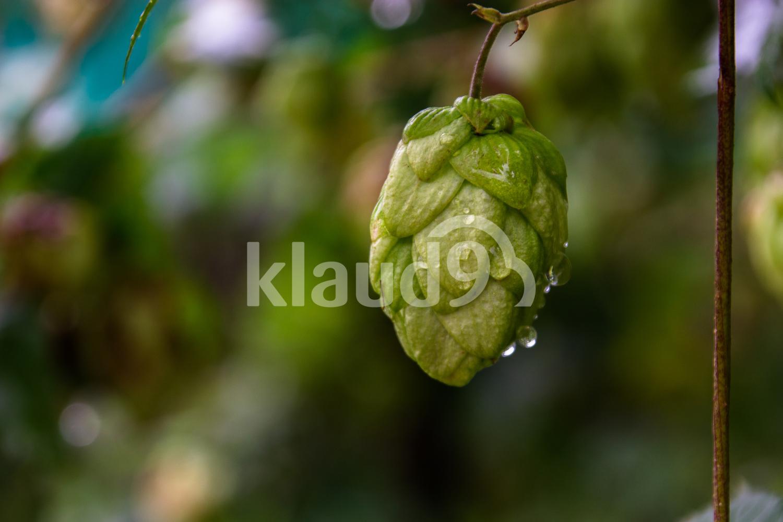 Cone of  hop
