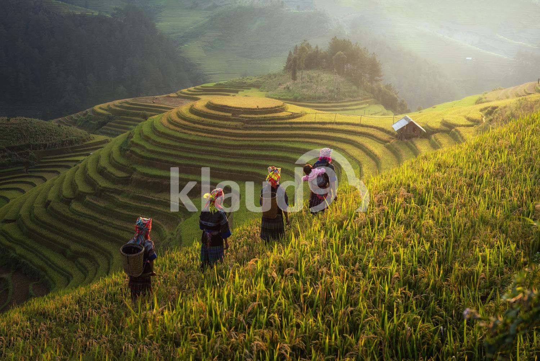 Back view of Farmers in Rice fields on terraces in Vietnam