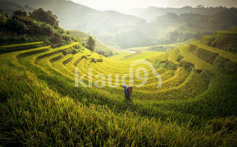 Farmer in Rice fields on terraces of Vietnam
