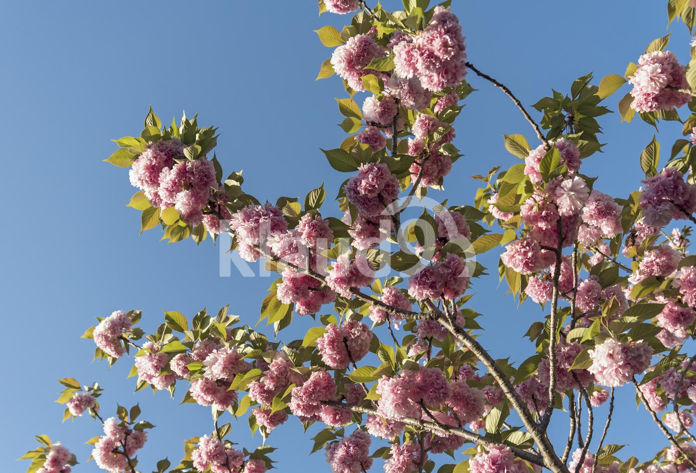 Sakura tree, Kyoto