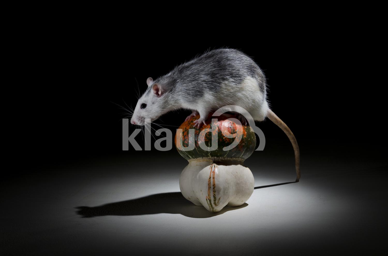 Rat and pumpkin.