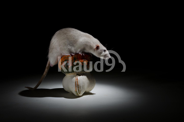 Rat and pumpkin still life study