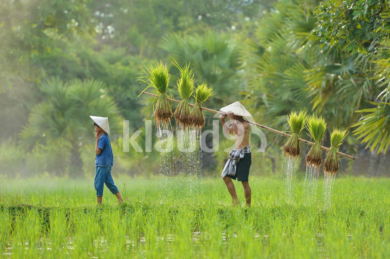Thai farmer harvesting rice on green fields ,Thailand