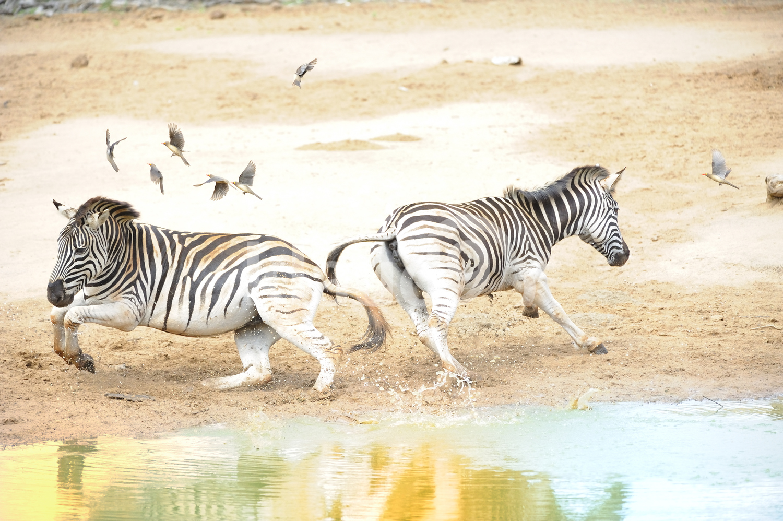 Zebra panic