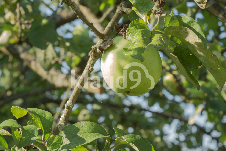 Fresh and tasty green apple