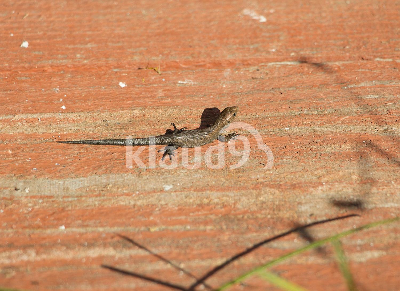 Little brown lizard on the board