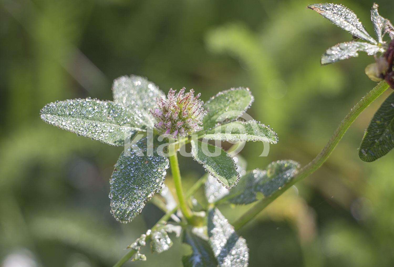 Clover flower in drops of dew