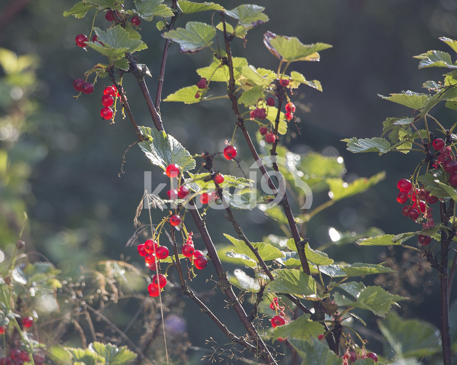 Red currants hanging on a bush in the garden.