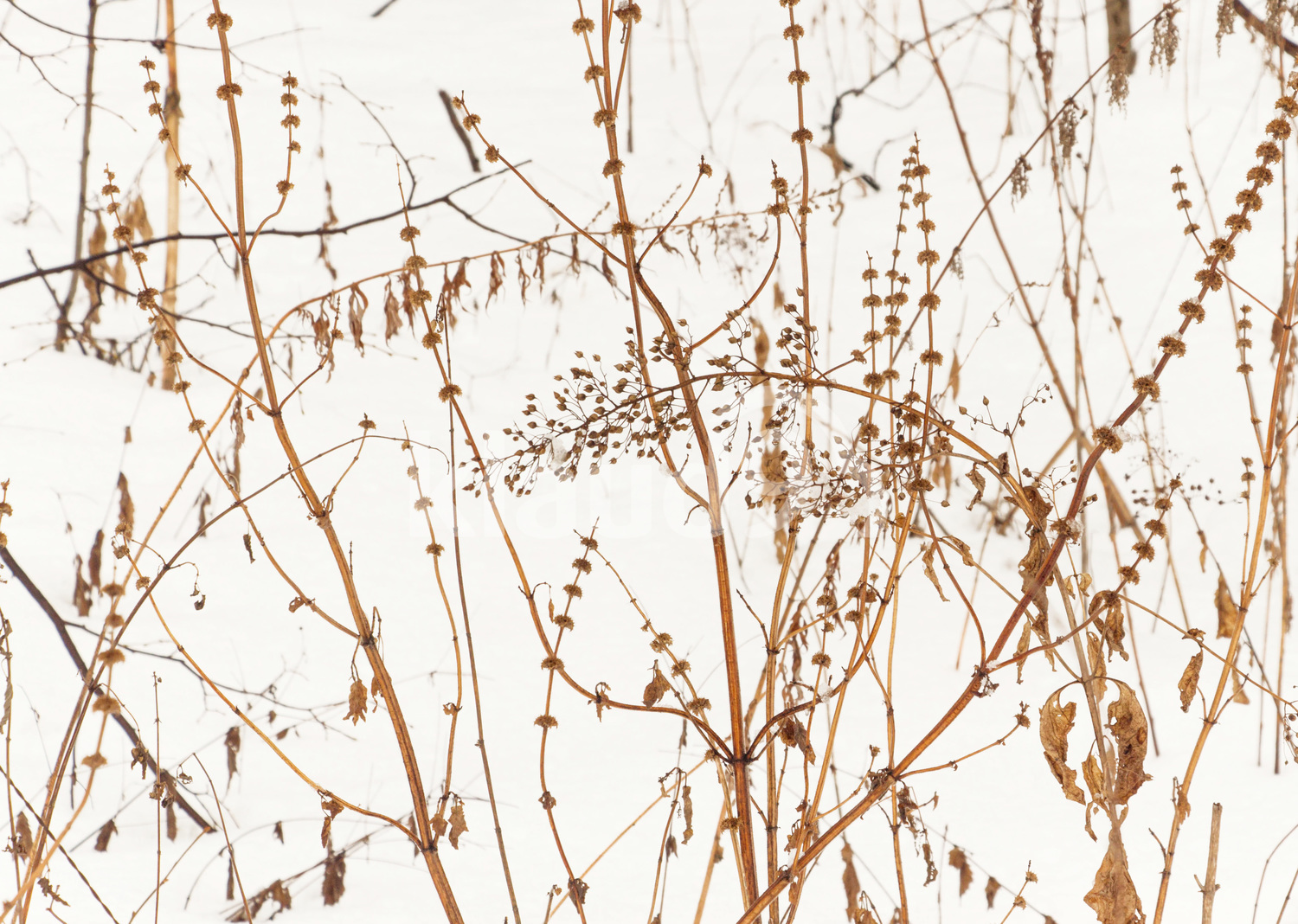 dry plant on the snow background