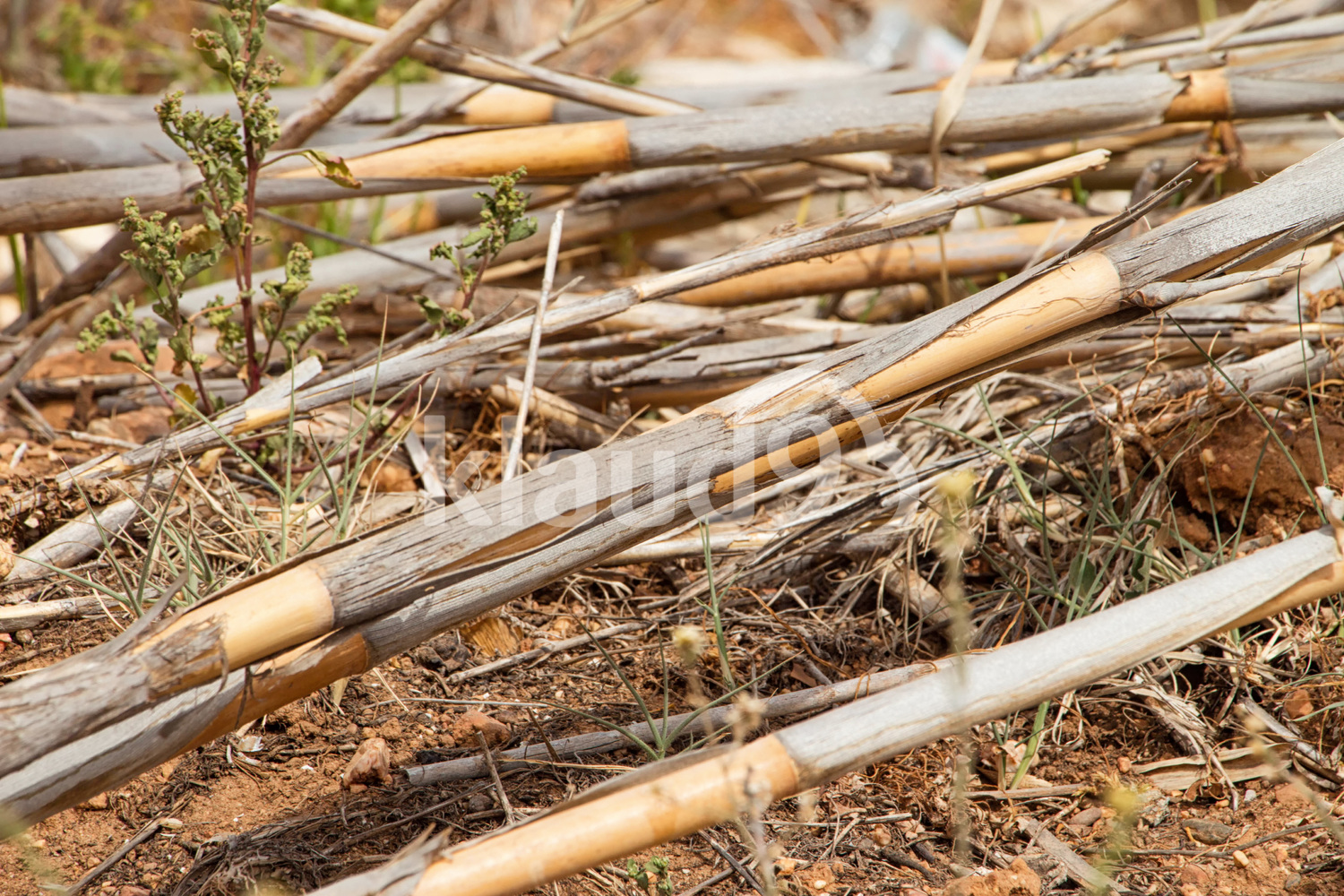 Old dry reeds lie on the ground