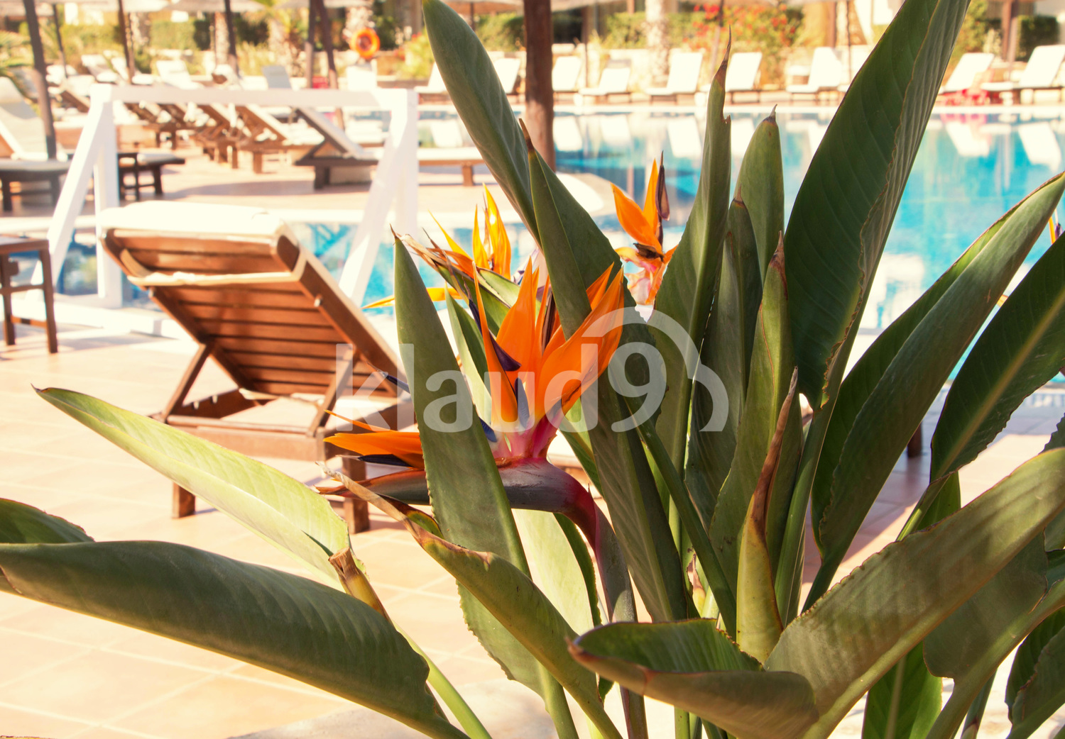 Beautiful tropical flower on the background of the pool