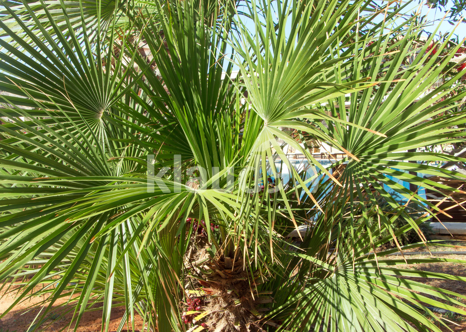 Tropical garden. Palm tree with round leaves
