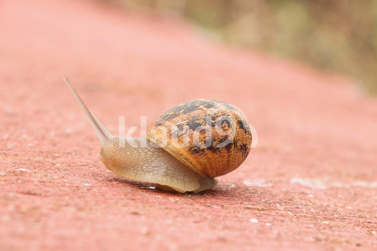 Slowly crawling snail on concrete road