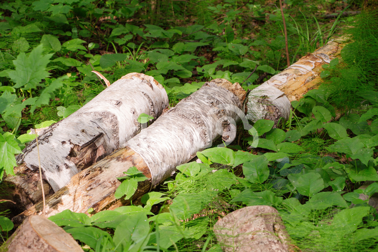old birch tree logs in the forest