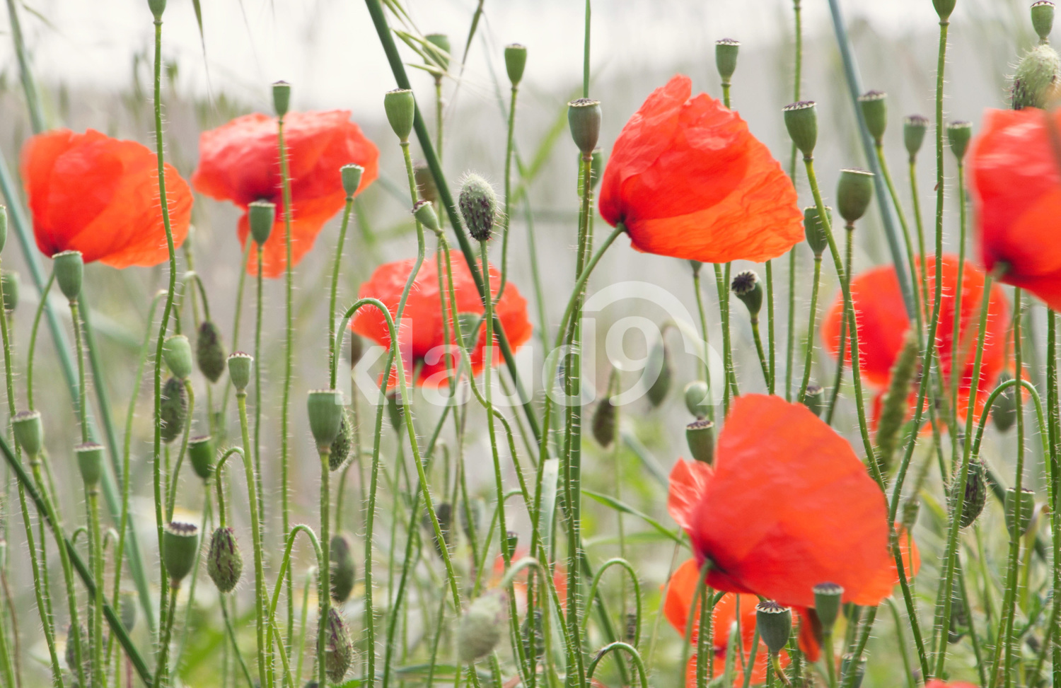 Field of poppies in the early morning