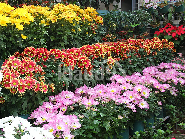 Chrysanthemums in full bloom