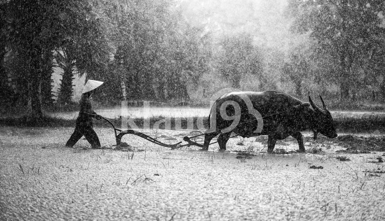 Farmer in The Rain; Farmers grow rice in the rainy season