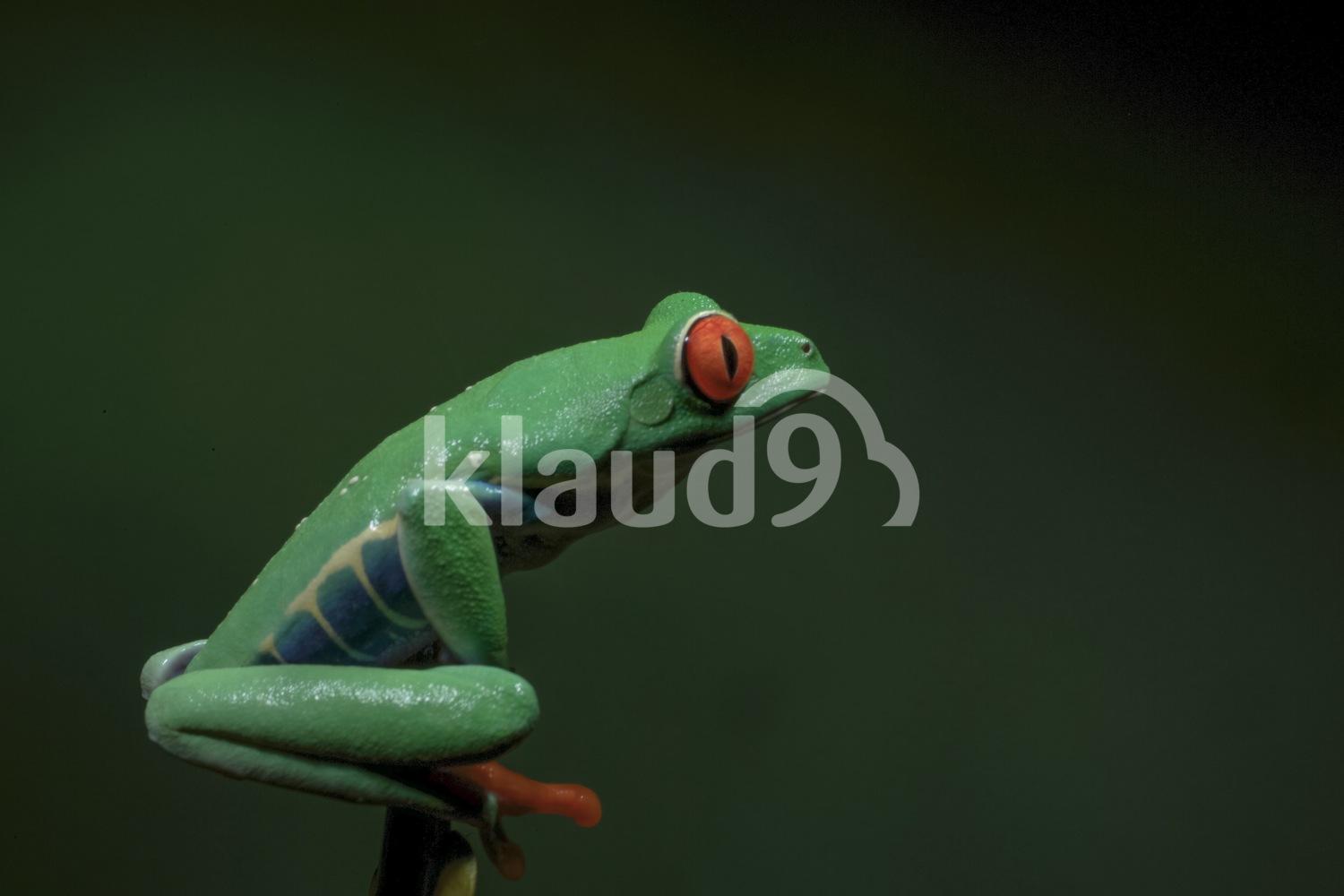 Red-Eyed Tree Frog; Costa Rica