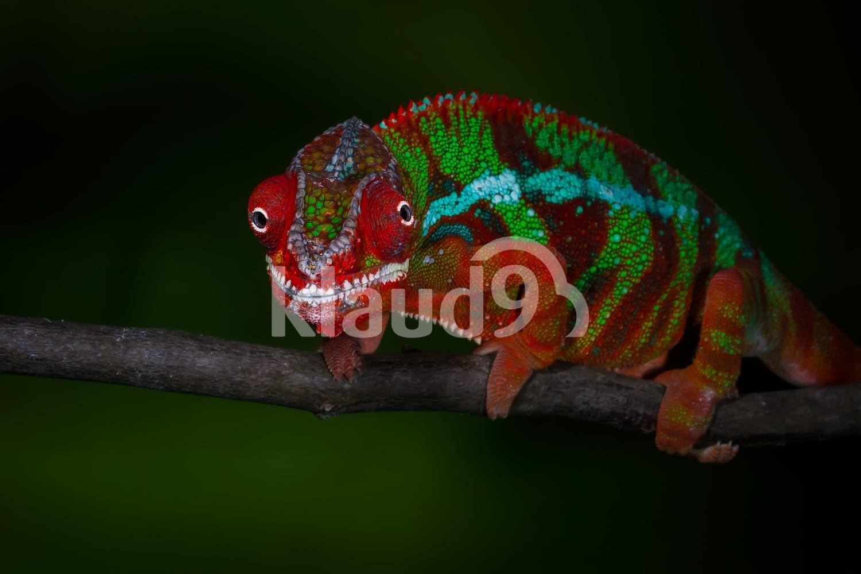 Panther Chameleon, Madagascar