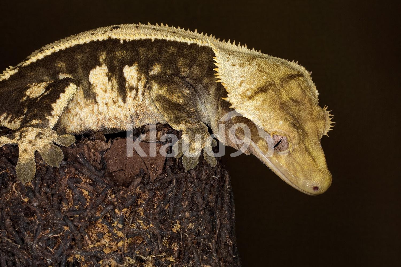 Gargoyle Gecko; New Caledonia