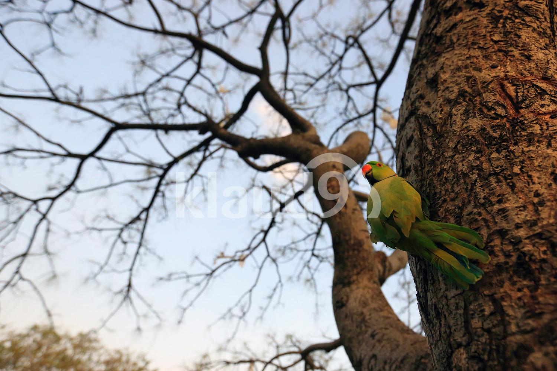 Hotshot Parrot
