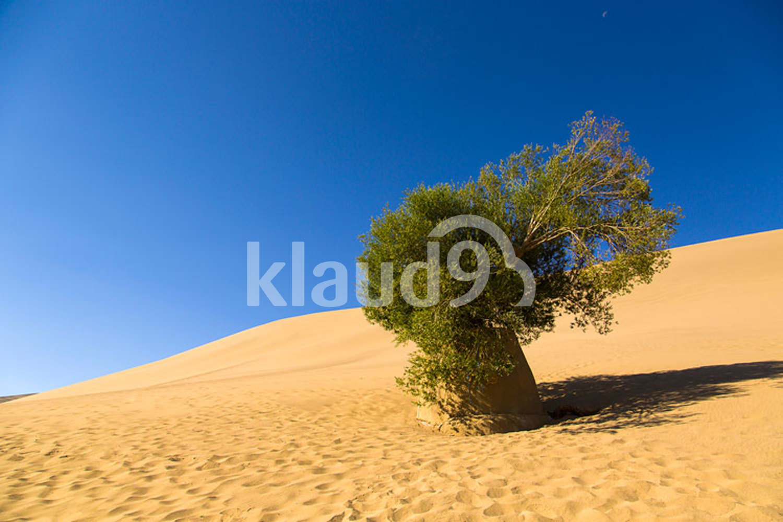Diversifolious poplar in desert, China