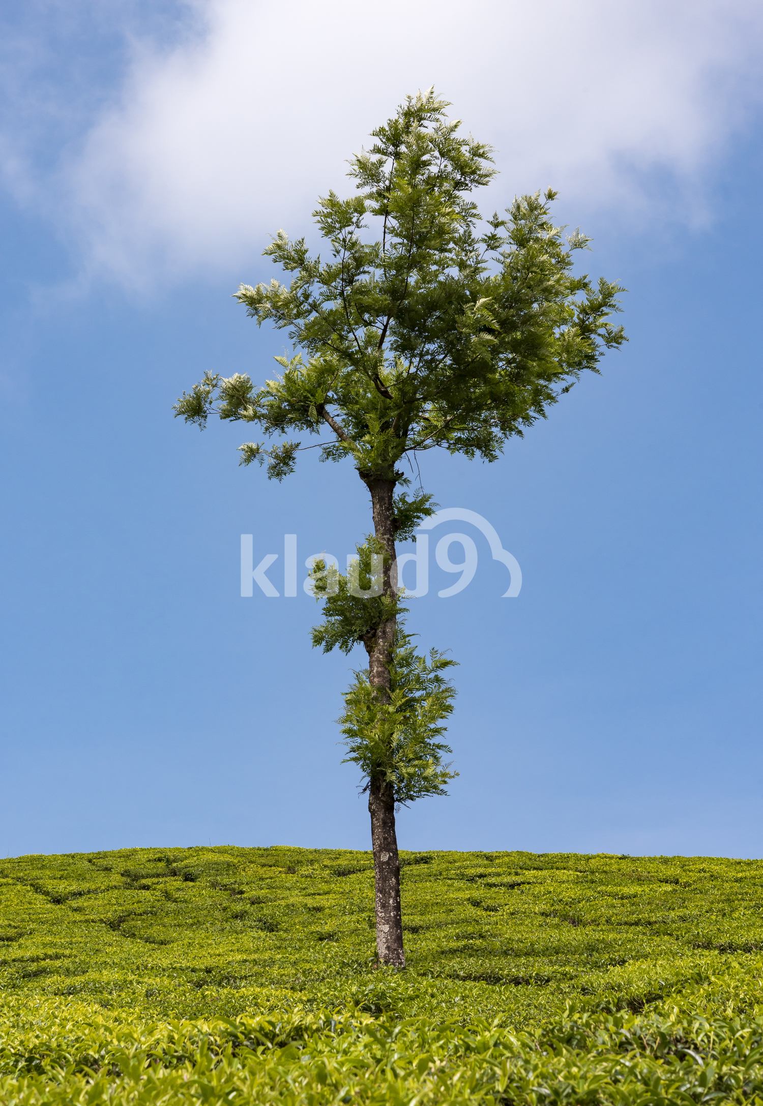 Lone Tree In Tea Plantation