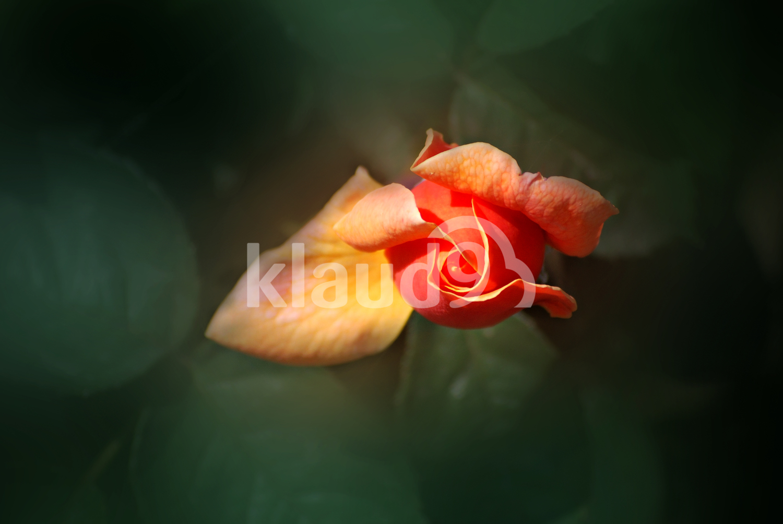 Beautiful rose bud in bloom.