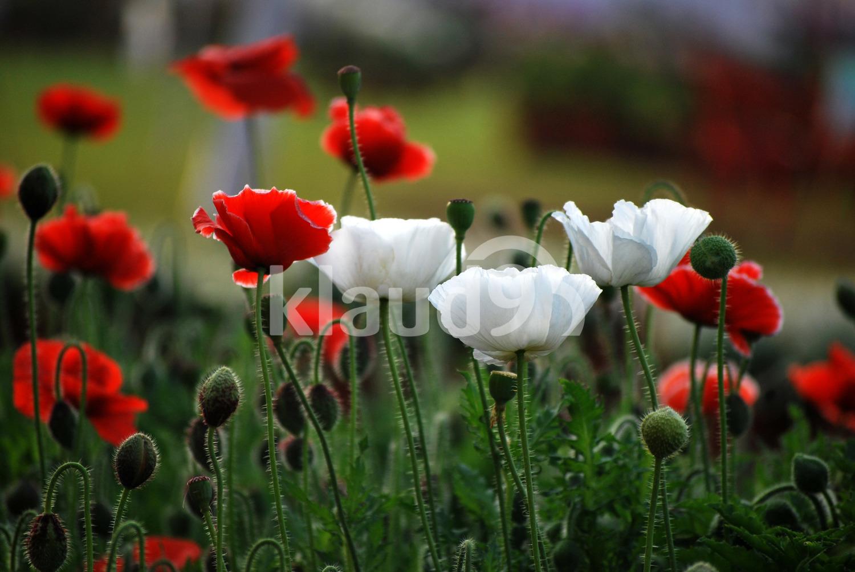 Roses in bloom in the Garden