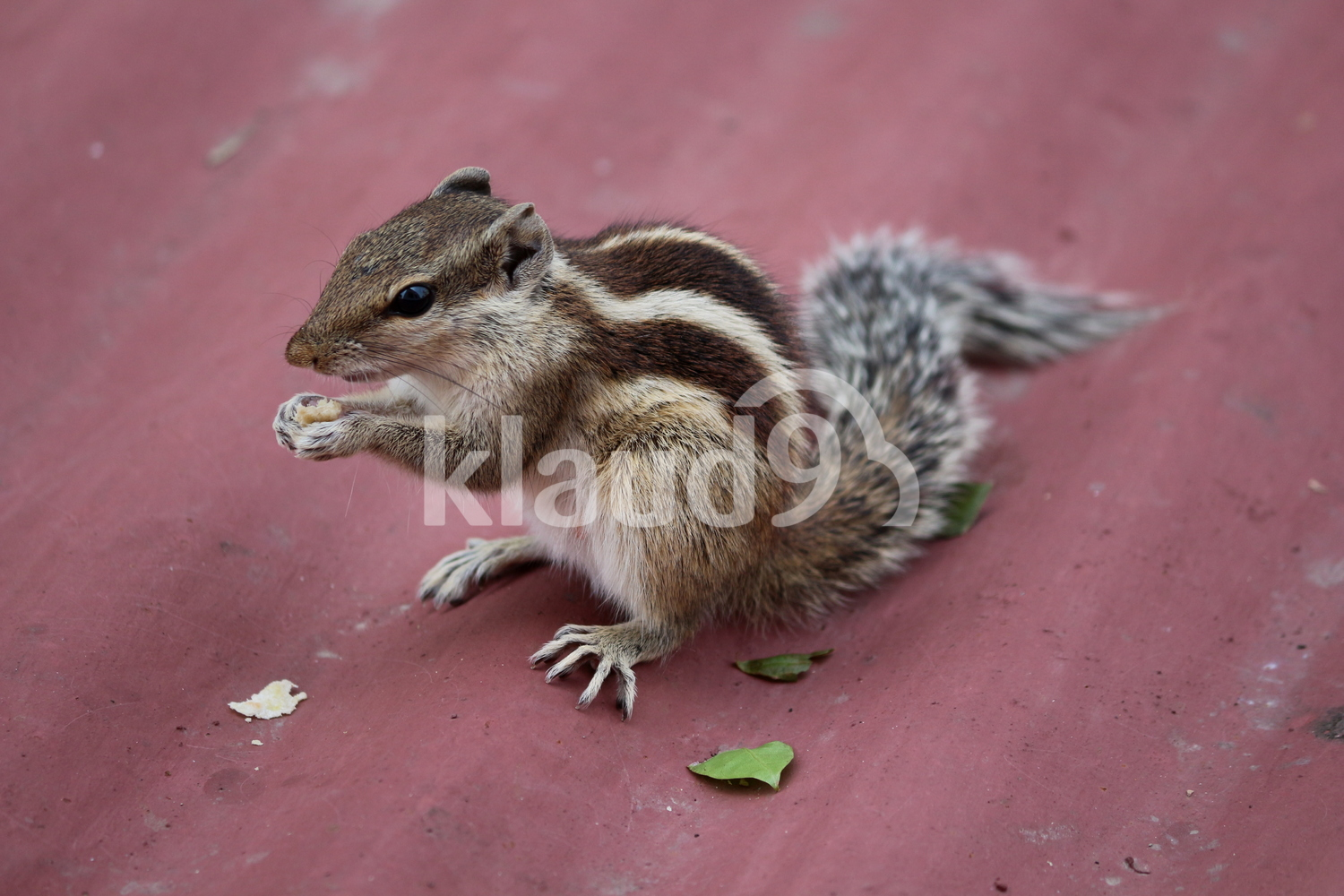 ID: Indian Palm Squirrel