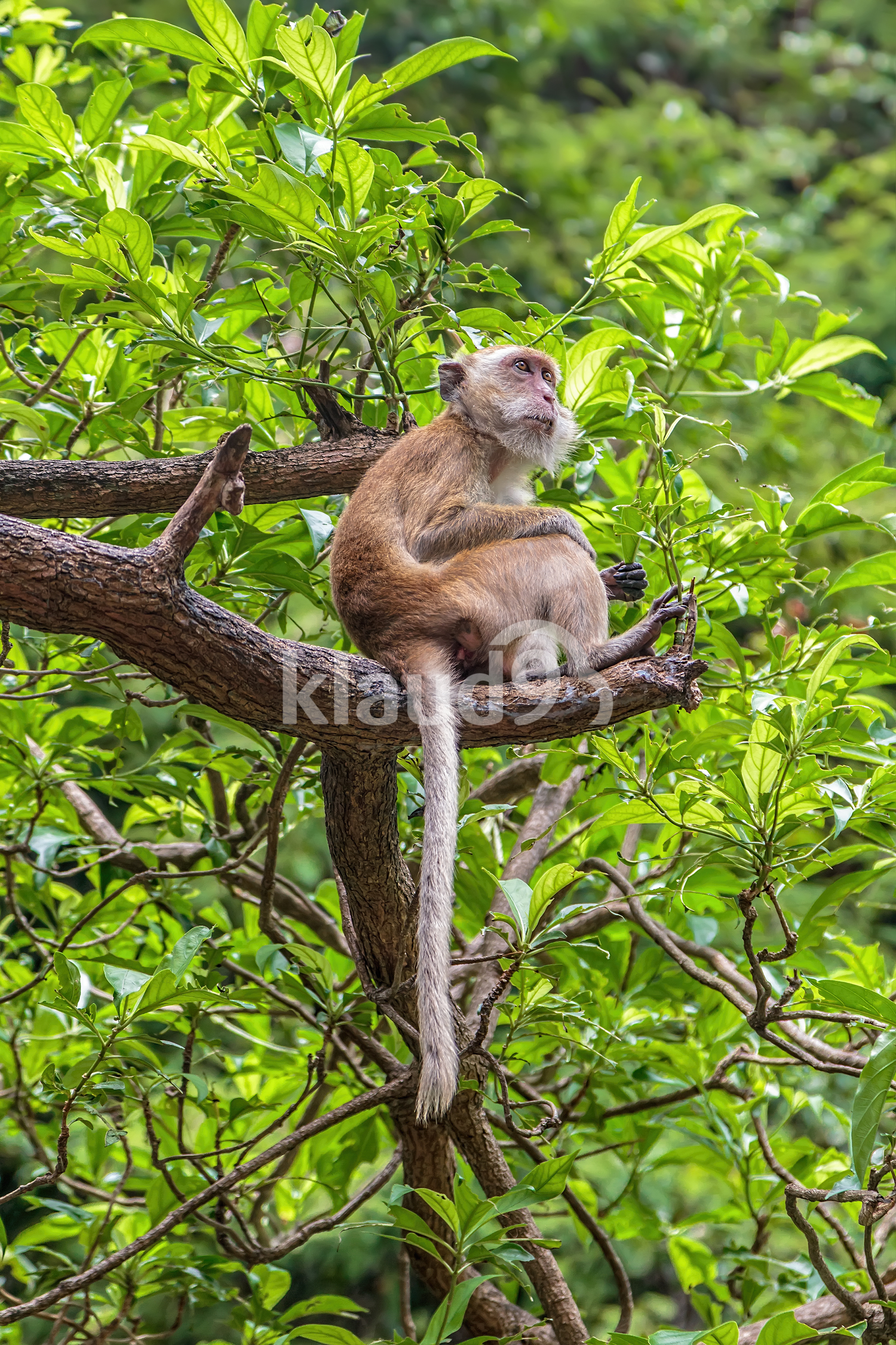 The monkey sits on a tree branch. Kingdom of Thailand
