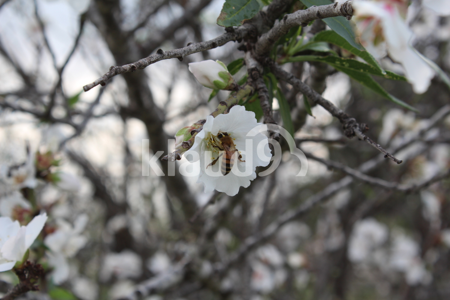 A bee suck nectar from almond tree flower