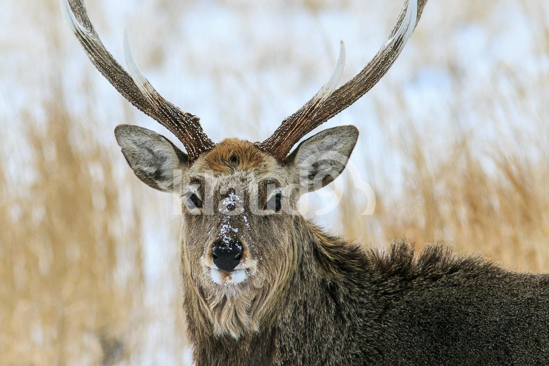 Portrait of Male Sika Deer