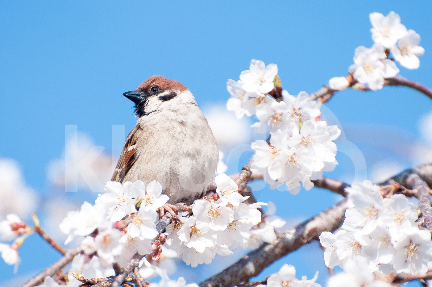 Bird With Sakura At Osaka Castle Park