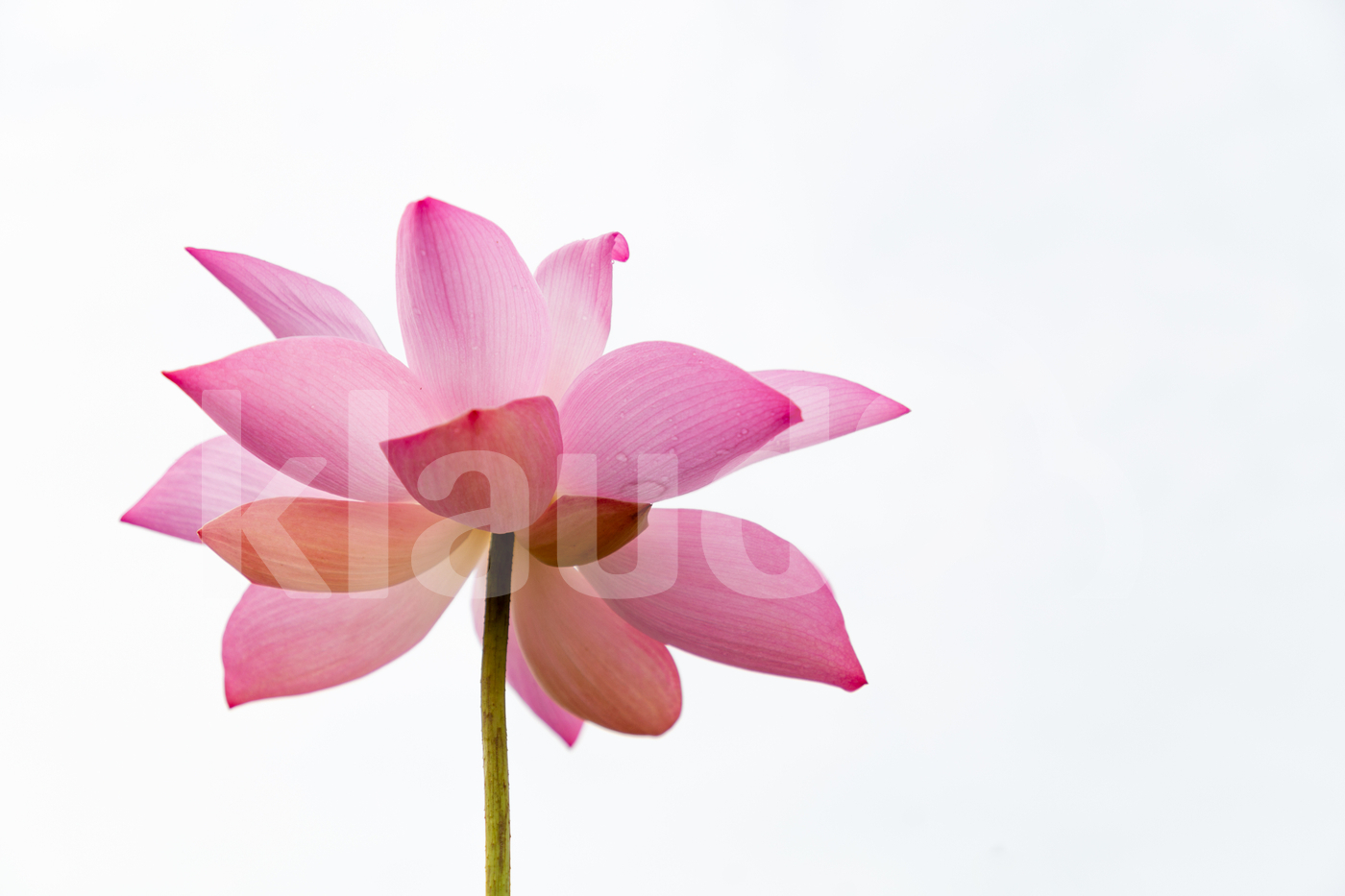 Pink lotus close up in white background