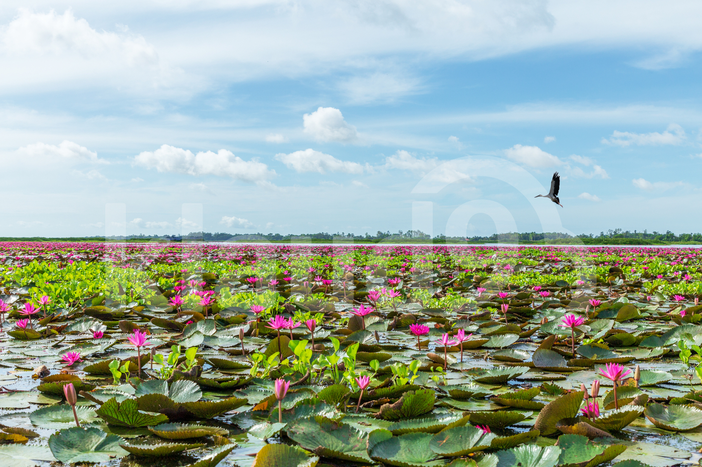 Million water lilies at the lake