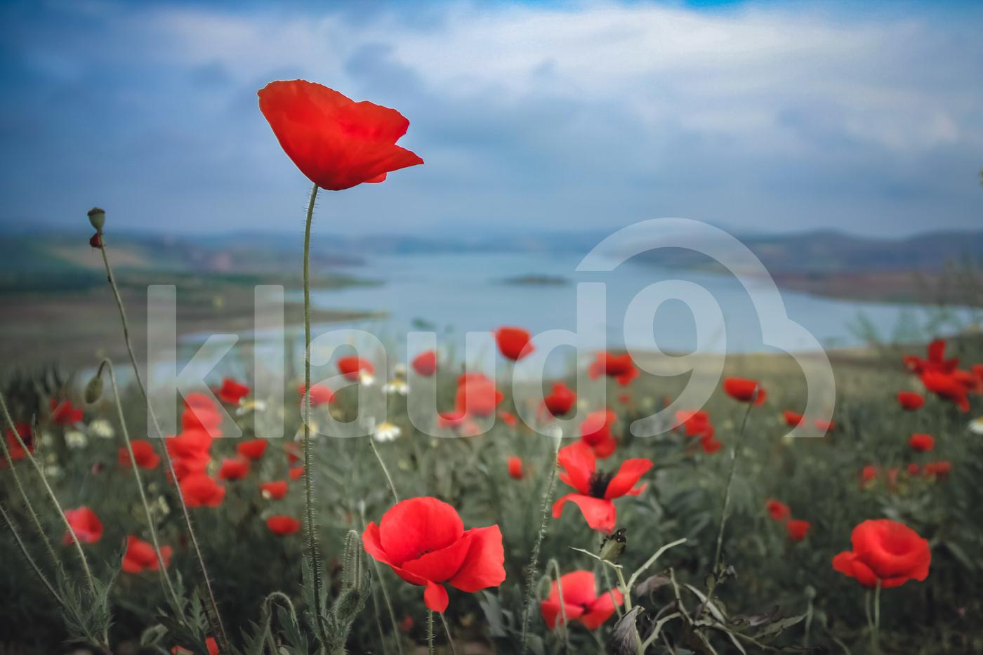 Moroccan Wild Poppy Field