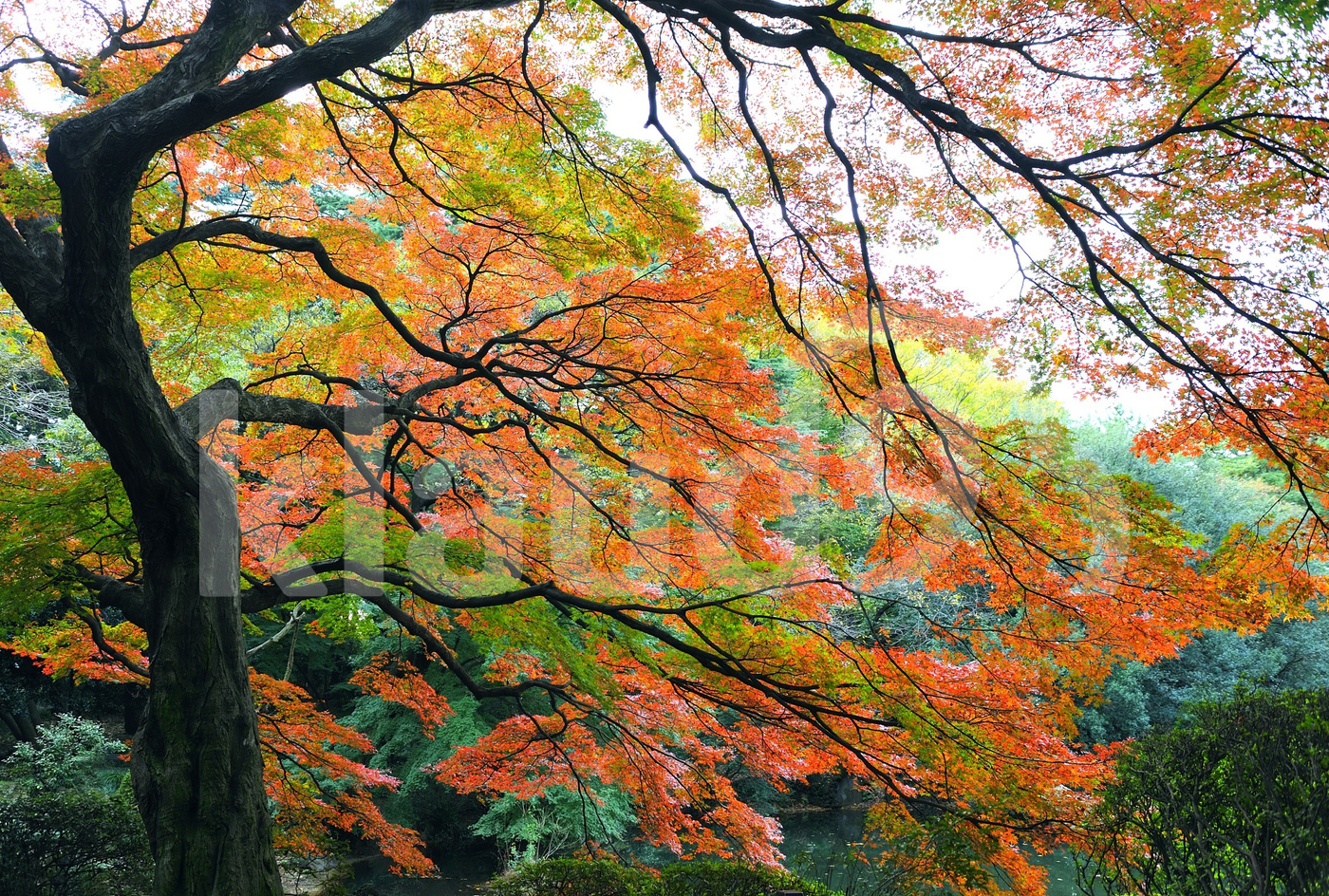 Japan Autumn tree