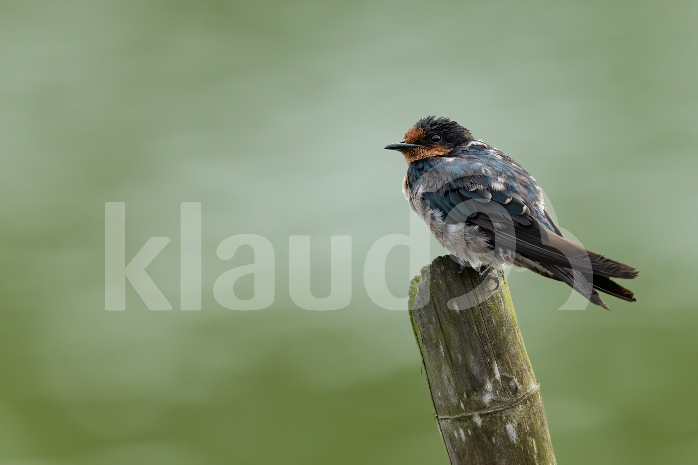 Barn Swallow perching on wood stump